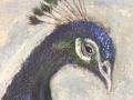 Påfågel i morgondis